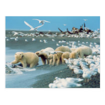 North Slope, Alaska. Polar Bears Ursus Postcard