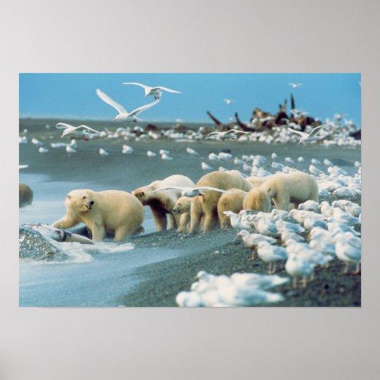 North Slope, Alaska. Polar Bears Ursus Poster