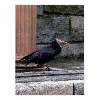 Northern Bald Ibis Postcard