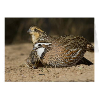 Northern Bobwhite quail babies at pond for drink Card