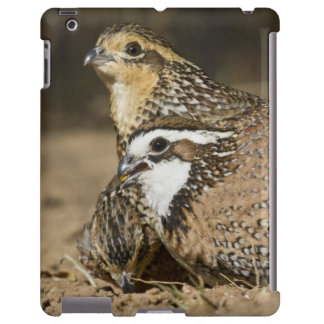 Northern Bobwhite quail babies at pond for drink