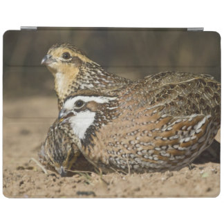 Northern Bobwhite quail babies at pond for drink iPad Cover