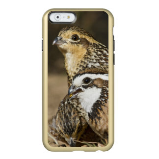 Northern Bobwhite quail babies at pond for drink Incipio Feather® Shine iPhone 6 Case