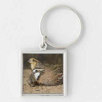 Northern Bobwhite quail babies at pond for drink Key Chain