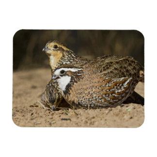 Northern Bobwhite quail babies at pond for drink Magnet