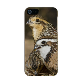 Northern Bobwhite quail babies at pond for drink Metallic Phone Case For iPhone SE/5/5s