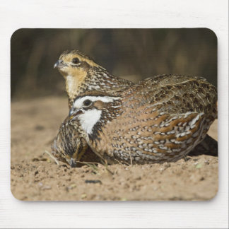 Northern Bobwhite quail babies at pond for drink Mouse Pad
