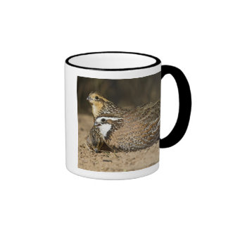 Northern Bobwhite quail babies at pond for drink Mugs
