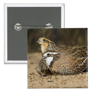 Northern Bobwhite quail babies at pond for drink Pinback Button