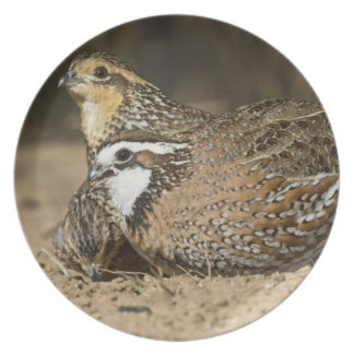 Northern Bobwhite quail babies at pond for drink Dinner Plates