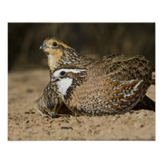 Northern Bobwhite quail babies at pond for drink Poster