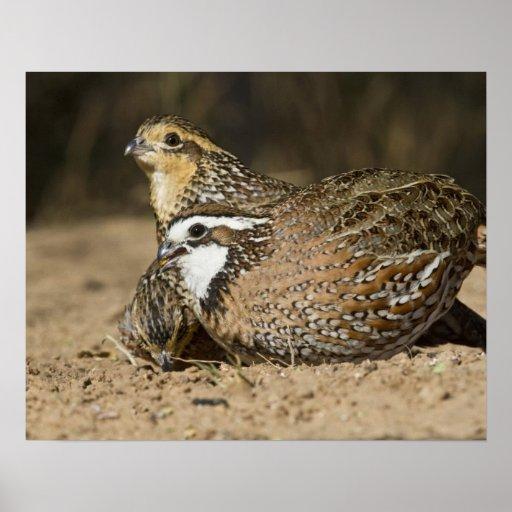 how to raise baby quail