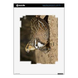 Northern Bobwhite quail babies at pond for drink iPad 3 Skin