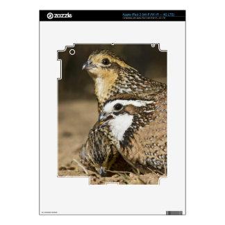 Northern Bobwhite quail babies at pond for drink iPad 3 Skins