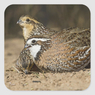 Northern Bobwhite quail babies at pond for drink Square Sticker