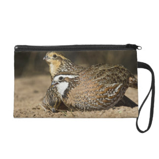 Northern Bobwhite quail babies at pond for drink Wristlet