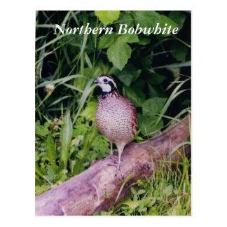 Northern Bobwhite Quail Postcard