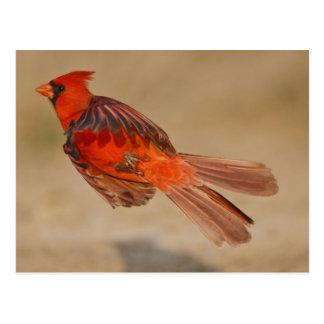 Northern Cardinal adult male in flight Postcard