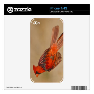 Northern Cardinal adult male in flight Skin For iPhone 4