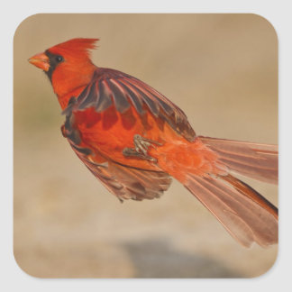 Northern Cardinal adult male in flight Square Sticker