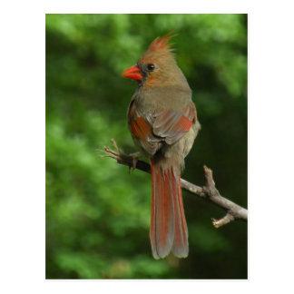 Northern Cardinal Bird Postcard