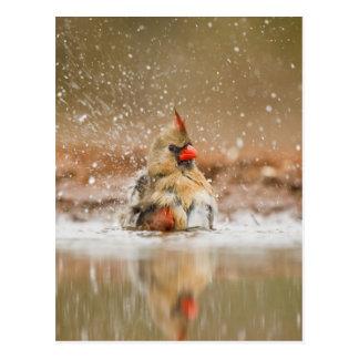 Northern Cardinal (Cardinalis cardinalis) female 2 Postcard