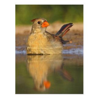 Northern Cardinal (Cardinalis cardinalis) female 3 Postcard