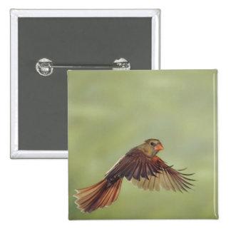 Northern Cardinal, Cardinalis cardinalis, female Button
