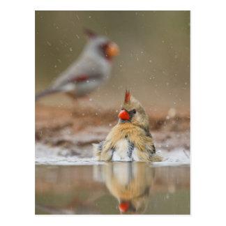 Northern Cardinal (Cardinalis cardinalis) female Postcard