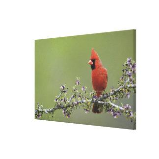 Northern Cardinal, Cardinalis cardinalis,male 2 Canvas Prints