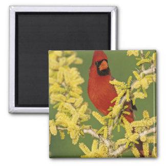 Northern Cardinal, Cardinalis cardinalis,male 2 Inch Square Magnet