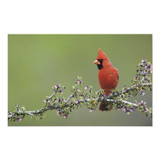 Northern Cardinal, Cardinalis cardinalis,male 2 Photo Print
