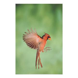 Northern Cardinal, Cardinalis cardinalis, male 2 Photo Print