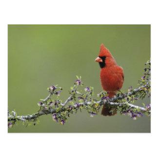 Northern Cardinal, Cardinalis cardinalis,male 2 Postcard