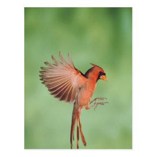 Northern Cardinal, Cardinalis cardinalis, male 2 Postcard