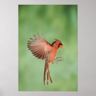 Northern Cardinal, Cardinalis cardinalis, male 2 Poster