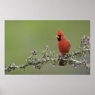 Northern Cardinal, Cardinalis cardinalis,male 2 Print