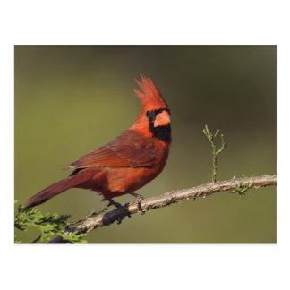 Northern Cardinal, Cardinalis cardinalis, male 3 Postcard