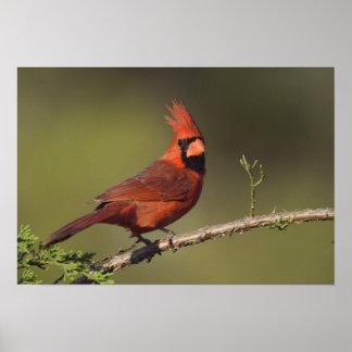 Northern Cardinal, Cardinalis cardinalis, male 3 Poster