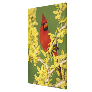 Northern Cardinal, Cardinalis cardinalis,male Canvas Print