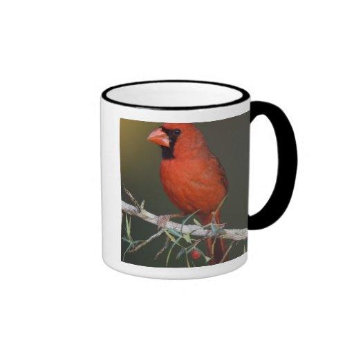 Northern Cardinal, Cardinalis cardinalis, male Mugs