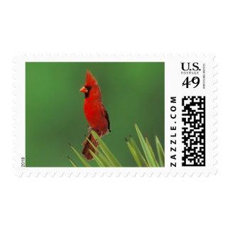 Northern Cardinal, Cardinalis cardinalis,male on Postage