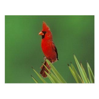Northern Cardinal, Cardinalis cardinalis,male on Postcard