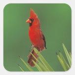 Northern Cardinal, Cardinalis cardinalis,male on Square Sticker