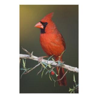 Northern Cardinal, Cardinalis cardinalis, male Photo Print
