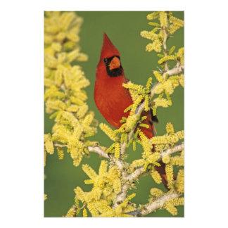 Northern Cardinal, Cardinalis cardinalis,male Photo Print