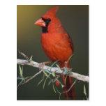 Northern Cardinal, Cardinalis cardinalis, male Postcard