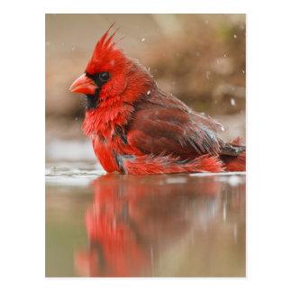 Northern Cardinal (Cardinalis cardinalis) male Postcard
