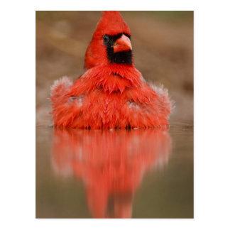 Northern Cardinal Cardinalis cardinalis) male Postcard