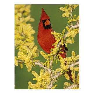 Northern Cardinal, Cardinalis cardinalis,male Postcard
